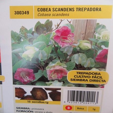 COBEA SCANDENS TREPADORA