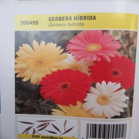 GERBERA HÍBRIDA