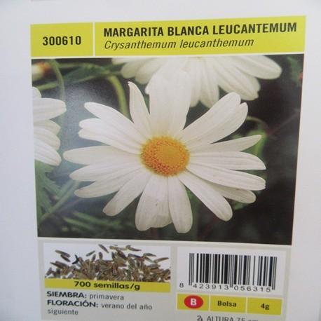 MARGARITA BLANCA LEUCANTEMUM