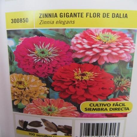 ZINNIA GIGANTE FLOR DE DALIA
